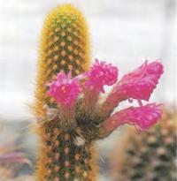 Акерсия розовоцветковая