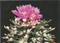 Ариокарпус агавовидный