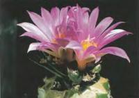 Ариокарпус ладьеносый в культуре