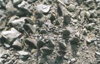 Ариокарпус ладьеносый в природе