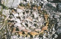Ариокарпус притушенный в природе