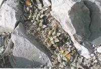 Ариокарпус трещиноватый разн. Хинтона