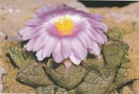 Ариокарпус трещиноватый разн. Ллойда