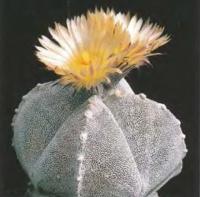 Астрофитум многоточечный ф. четырехреберный