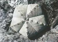 Астрофитум многоточечный разн. круглоколенный