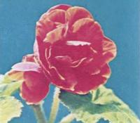 Бегония клубневая с махровыми цветками
