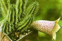 Близкая родственница стапелии — таварезия крупноцветковая