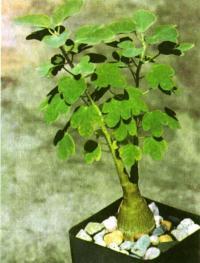 «Бутылочное дерево» — адения колючая