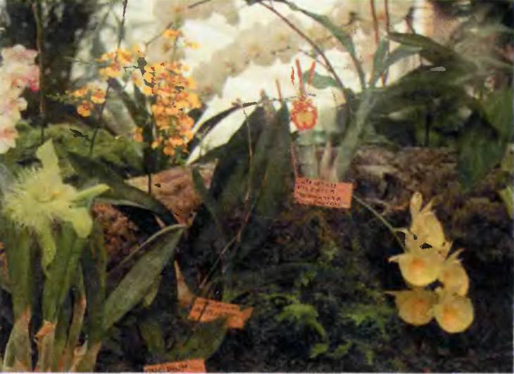 Catasetum pileatum и другие орхидеи Южной Америки