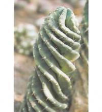 Цереус перуанский Spiralis