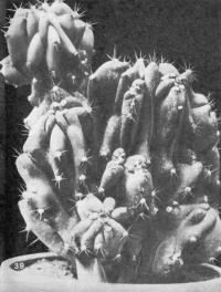 Цереус перуанский