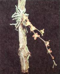 Chiloschista lunifera —  очаровательная безлистная орхидея