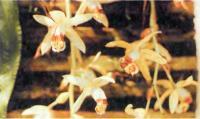Coelogyne massangeana - прекрасное растение для начинающих
