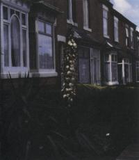 Цветение юкки нитеносной в открытом грунте (г. Бирмингем, Великобритания)