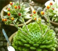 Цветет эчеверия щетинистая