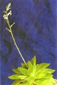 Цветет хавортия ладьевидная