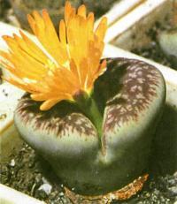 Цветет литопс глаудине