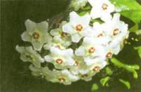 Цветет восковой плюш
