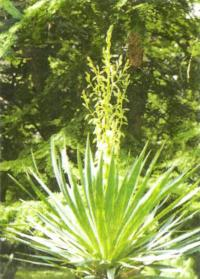 Цветет юкка в Ботаническом саду Сухуми (Абхазия)