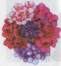 Цветки фиалок