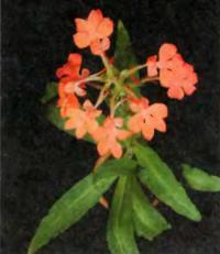 Цветки Habenaria rhodocheila необычны и ярки