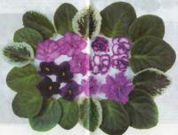 Цветки и листы фиалок