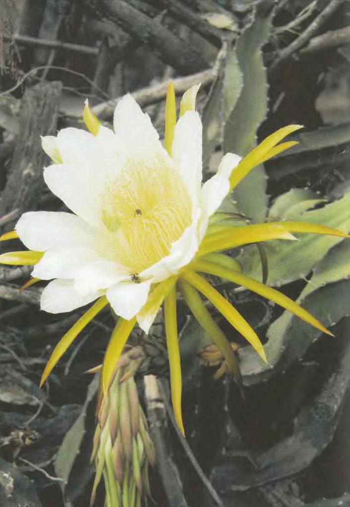 Цветок хилоцереуса волнистого
