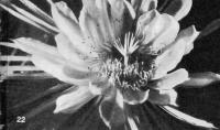 Цветок селеницереуса
