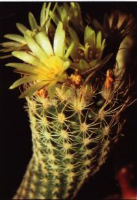Цветущее культурное растение