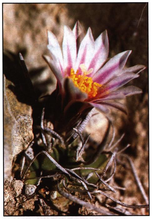 Цветущее растение возле Ла-Пердида (La Perdida), Тамаулипас
