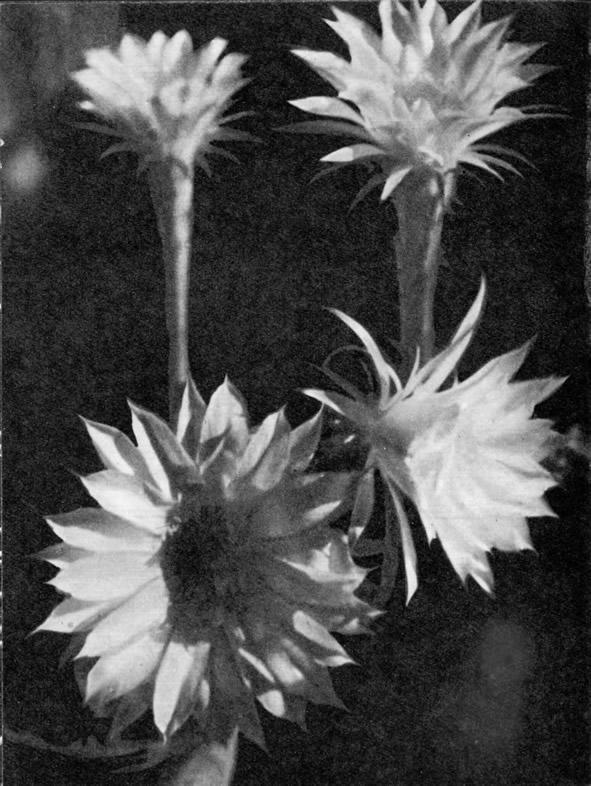 Цветущие эхинопсисы