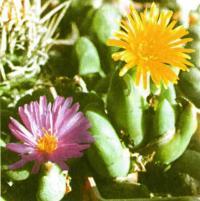 Цветущие конофитумы: усеченный и двулопастный (справа)