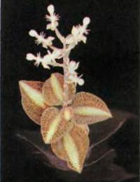 Цветущий Anoectochilus roxburghii