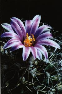 Цветущий экземпляр на биотопе Сьерра-дель-Доктор (Sierra del Doctor), штат Керетаро