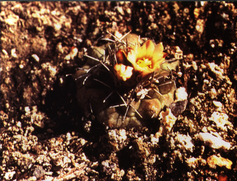 Цветущий экземпляр возле Арамбери (Aramberi), штат Нуэво-Леон
