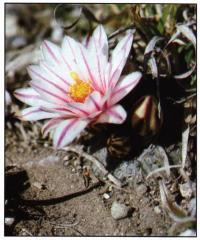 Цветущий экземпляр возле Льяно-де-Азас (Llano de Azuas), штат Тамаулипас