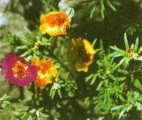 Цветущий портулак