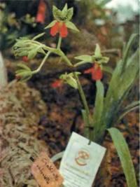 Cymbidiella rhodochila — редкая коллекционная орхидея