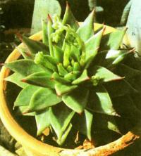 Эчеверия агавовидная