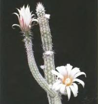 Эхиноцереус белоцветковый
