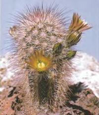 Эхиноцереус желто-зеленоцветковый