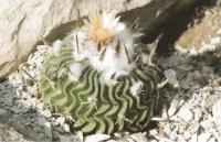 Эхинофоссулокактус листоколючковый