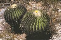 Эхинокактус плоскокалючковый