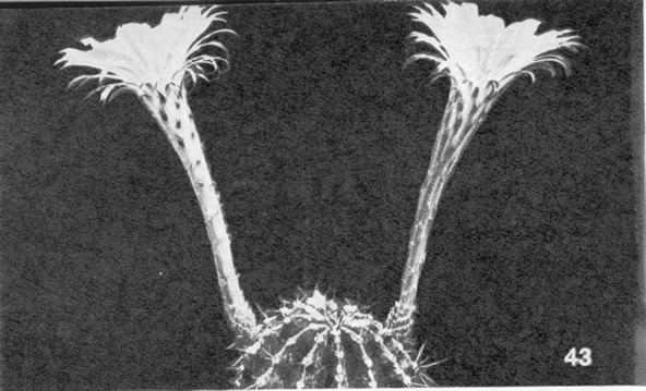 Эхинопсис круговидный