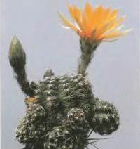 Эхинопсис паучьеколючковый