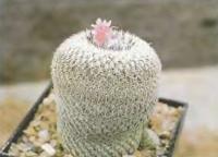 Эпителанта, похожая на Э. когтеколючковую