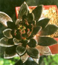Этот редкий сорт эчеверий так и называется «Блек» (черный)