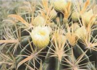 Ферокактус ширококолючковый с желтыми цветками