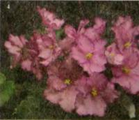 Фиалка «B. Cranberry Sparcle»