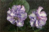 Фиалка «Carnation Sprincles»